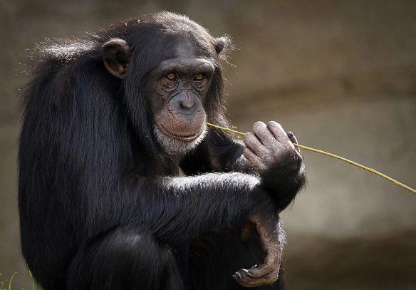 В Габоне группа шимпанзе растерзала более крупных горилл