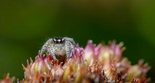 Кубанский паук-скакунчик