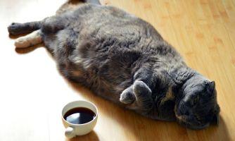 Как посадить кота на диету