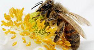 В России массово гибнут пчёлы