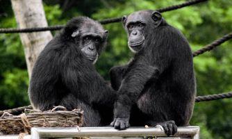 Гендерное равенство. Сравниваем людей и шимпанзе