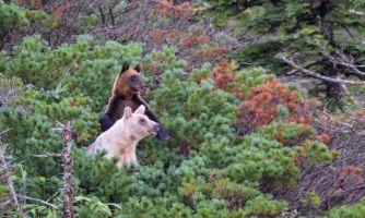 Белоснежка и малыш. Семейная сага о медведях