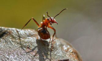Из жизни муравьёв. Почему худые самки — это горе