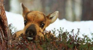 Маленький олень в большом опасном мире
