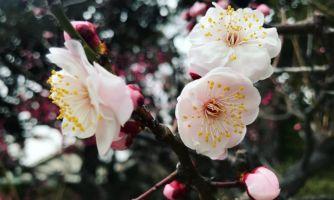 Коронавирус, туризм и мечты о сакуре