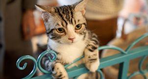 Тревога разлуки у кошек