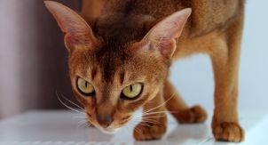 Абиссинская кошка. Абьюзер в вашем доме?