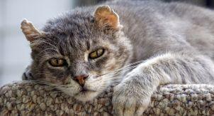 Деменция у кошек