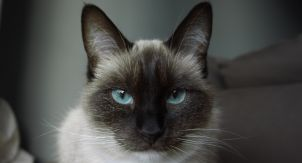 Почему сиамские кошки такие «сиамские»
