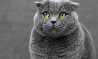 Кошки могут переносить коронавирус — или нет