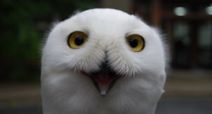 Полярная сова Квигик
