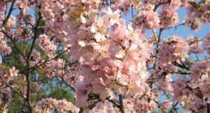 Сакура— непросто дерево, ацелая философия
