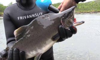 Вторжение русских боевых лососей