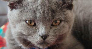 В Бельгии запретили разводить некоторые породы кошек