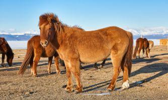 Скакуны монголов в период Золотой Орды