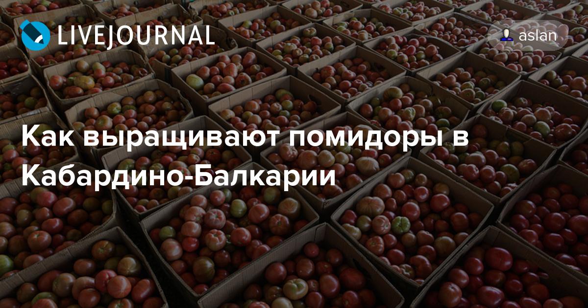 9277bb0aa7f Как выращивают помидоры в Кабардино-Балкарии  kak eto sdelano