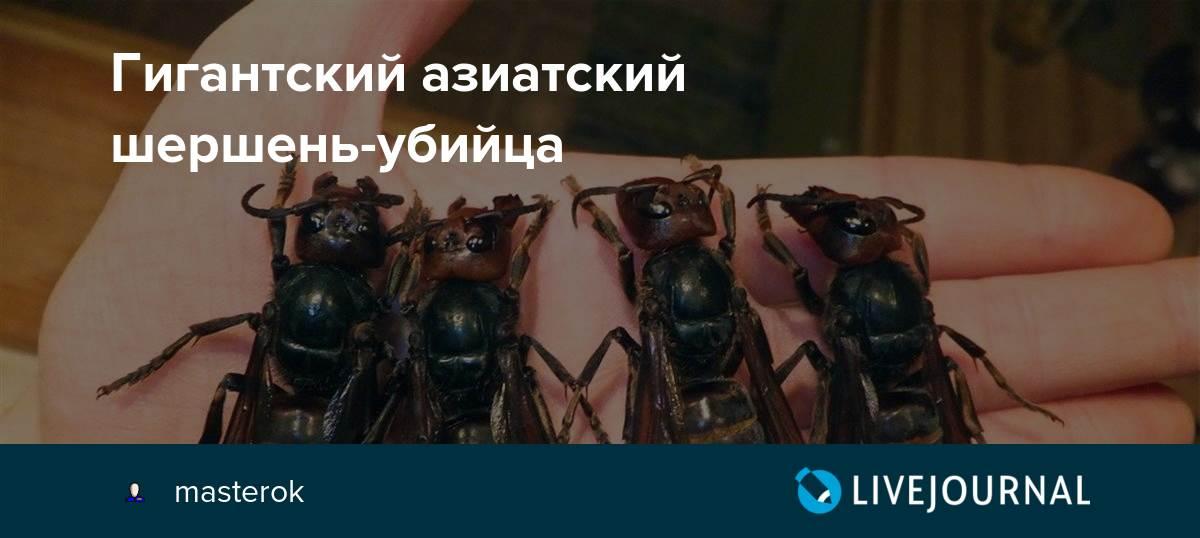 Черный шершень Дыбовского и большое насекомое похожее на шершня: внешний вид и фото
