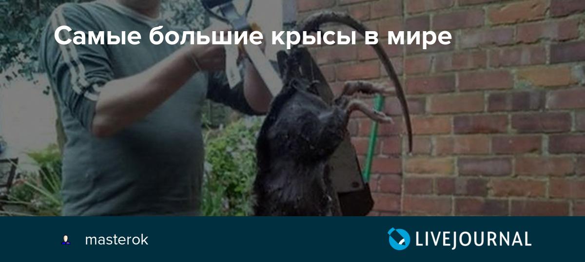 Крыса – описание, виды, что едят крысы, где обитает