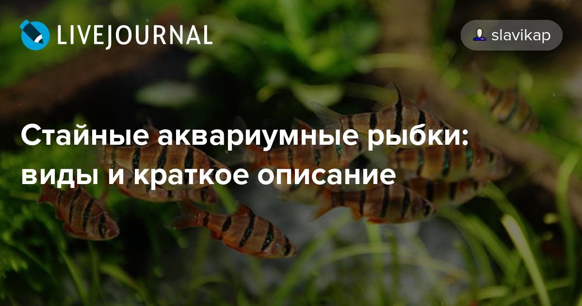 Стайные аквариумные рыбки: виды и краткое описание