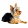 inadownpour sent you an adorable Yorkie!